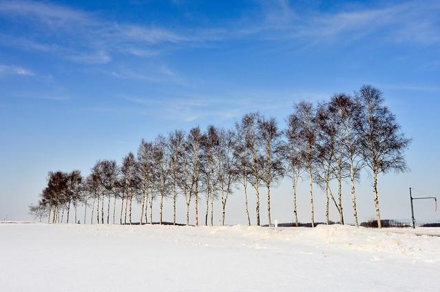 雪之白樺(DSC_0081)