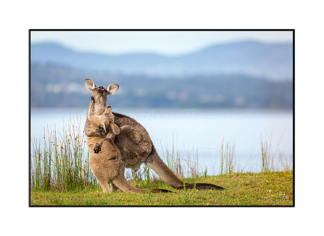 Kangaroo mother and joey embrace each other