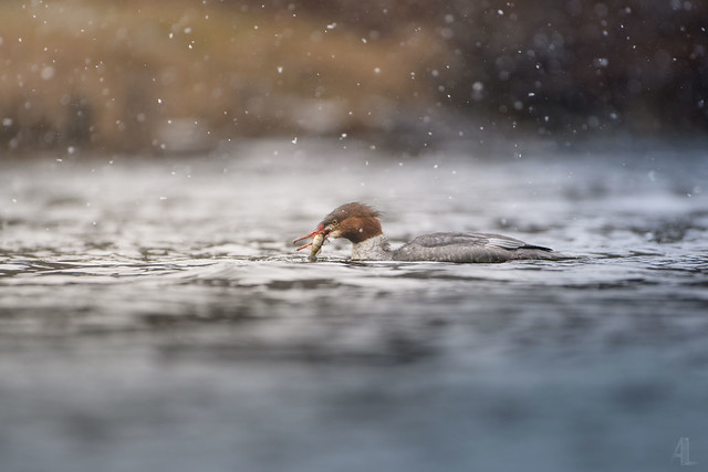 Grand Harle // Common Merganser