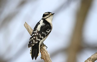 Downy Woodpecker female / Pic mineur femelle ( Diane )
