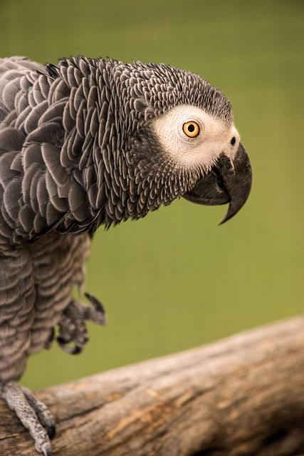 Another African Grey Parrot 3-0 F LR 9-22-19 J014
