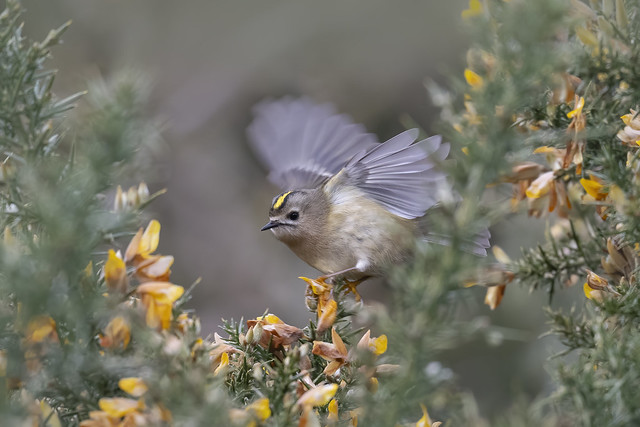 Goldcrest among the Gorse