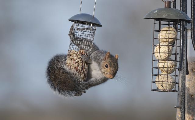 Grey Squirrel-5056272-10