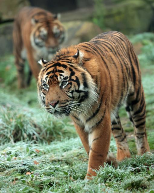 sumatran tiger Burgerszoo 9K2A9296
