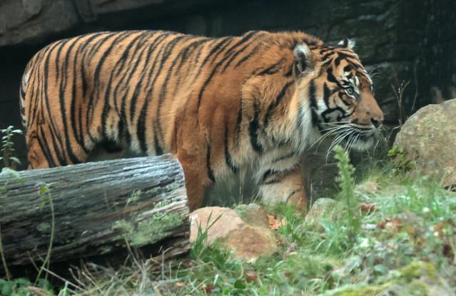 sumatran tiger Burgerszoo 9K2A9278
