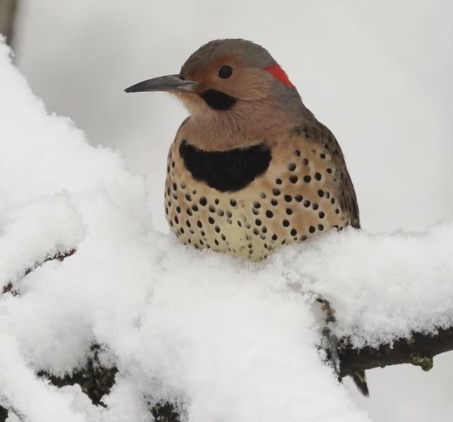 Northern Flicker on a snowy branch