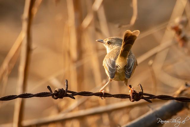 Plain Wren-Warbler - II (PB2_3618)