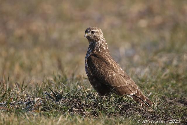 Buse variable - Buteo buteo - Common Buzzard