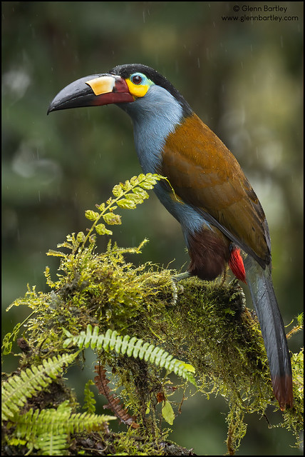Plate-billed Mountain Toucan (Andigena laminirostris)
