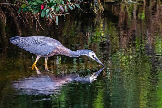 White Faced Heron Reflection