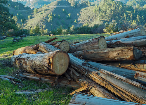 Eucalyptus logs from Claremont Ave