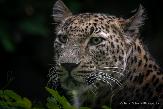 Nordpersicher Leopard