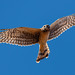 northern_harrier_in_flight_20210117_366