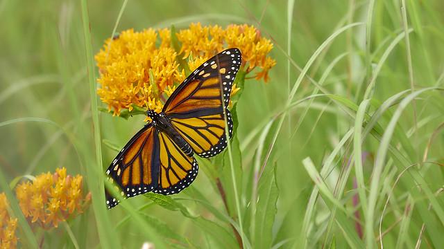 Monarch in the field - EMA35217