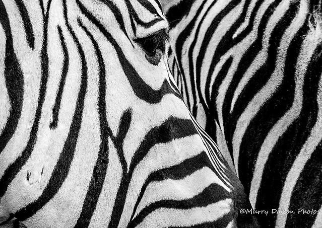 Eye of a Zebra IMG_5729