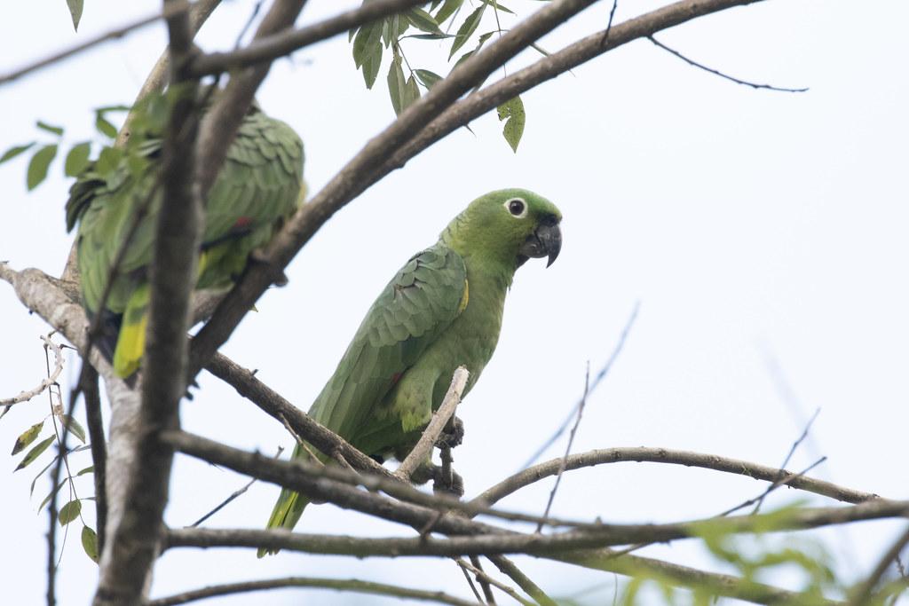 Amazona farinosa / Mealy Parrot