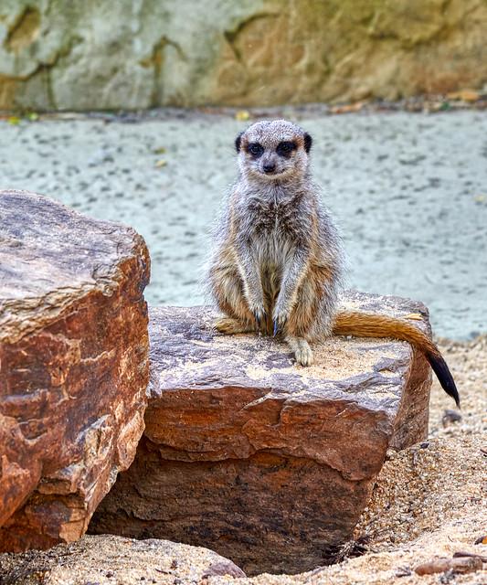Everybody Loves a Meerkat