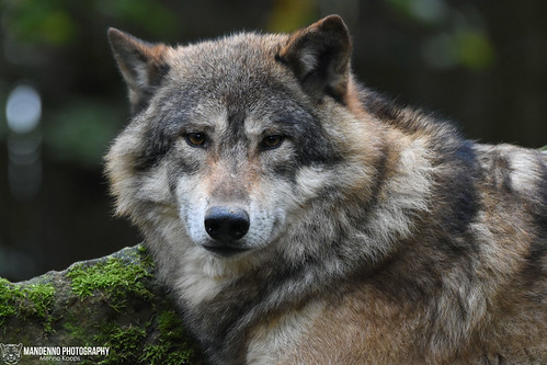 Wolf - Allwetterzoo Munster | by Mandenno photography