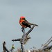 Galapagos vermilion flycatcher