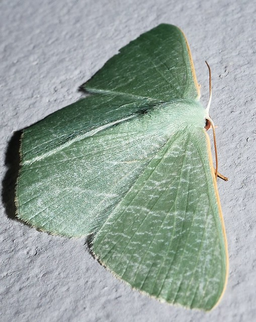Large emerald moth Thalassodes sp aff pilaria Geometrinae Geometridae Geometroidea Mandalay rainforest Airlie Beach P1290102