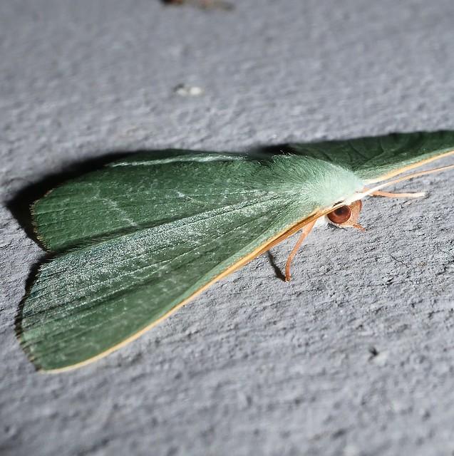 Large emerald moth Thalassodes sp aff pilaria Geometrinae Geometridae Geometroidea Mandalay rainforest Airlie Beach P1290106