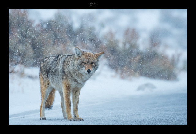 Coyote in Snow-storm