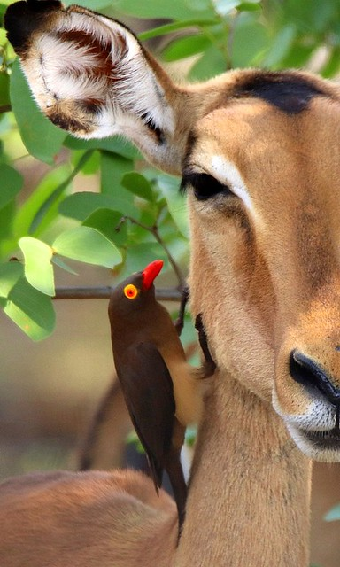 Red-billed Oxpecker - perched on an Impala ewe
