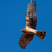 northern_harrier_in_flight_20210117_349