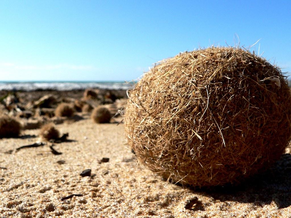 海草球中有奧秘 研究:地中海海草床每年「收集」近9億件塑膠垃圾
