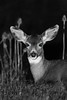 Mule Deer at Night in Oregon