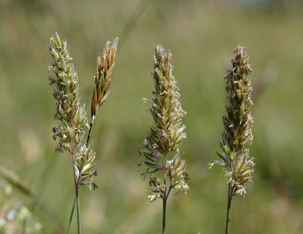 Koeleria macrantha (Crested Hair-grass)