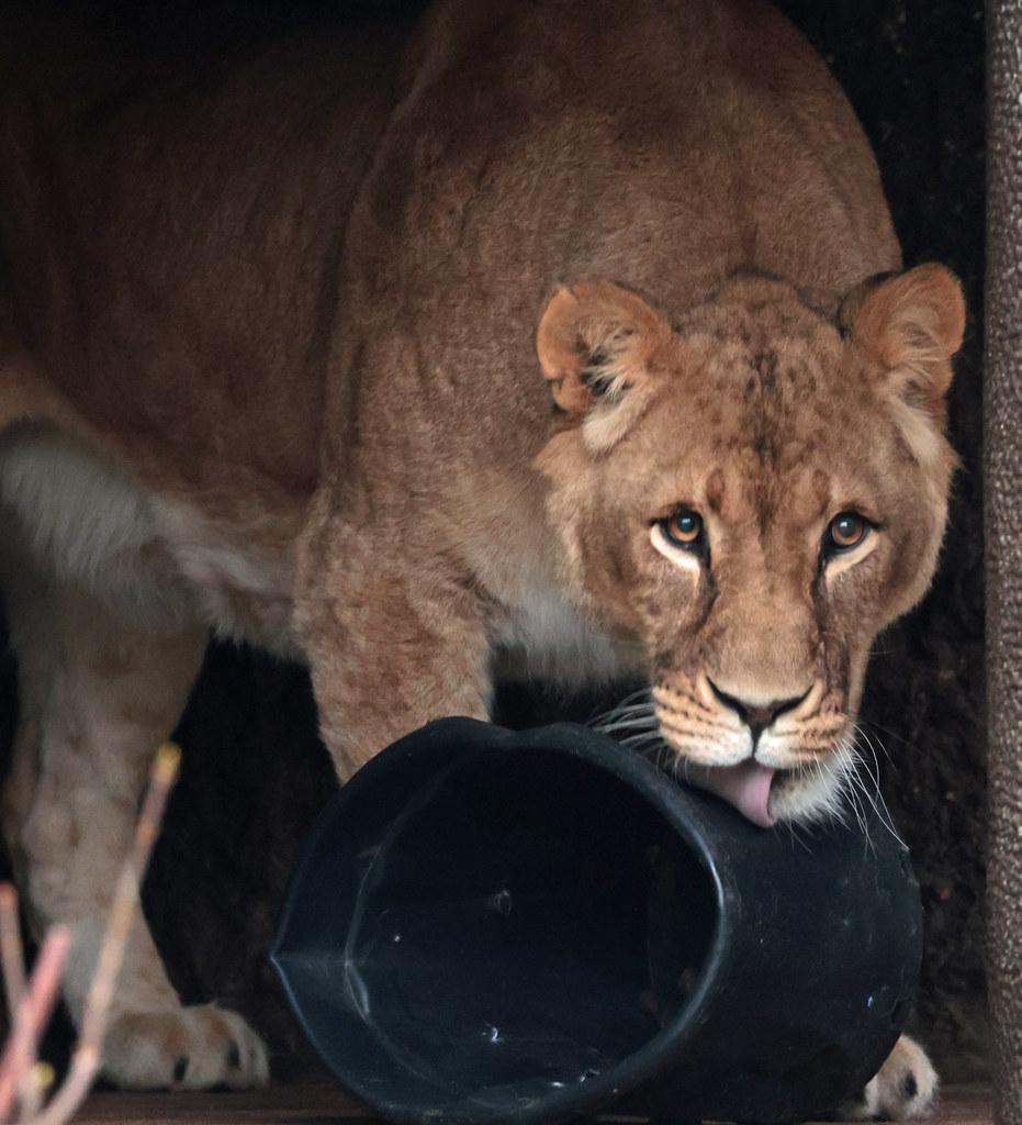 african lion Kianga Artis 9K2A6591