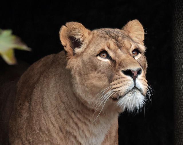 african lion Kianga Artis 9K2A6605
