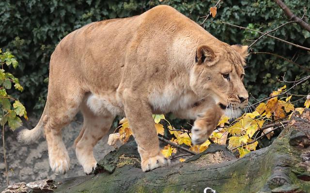 african lion Kacela Artis 9K2A7305