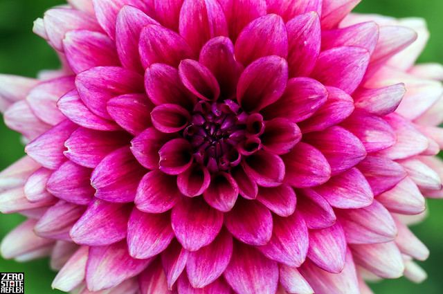 Dahlia_Garden_Wedgwood_Flowers_Seattle_PInk_1
