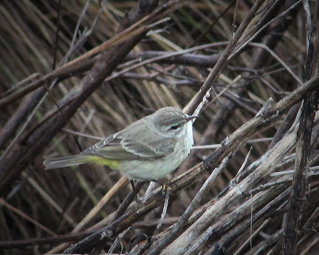 2021.01.03 Sweetwater Wetlands Palm Warbler 1