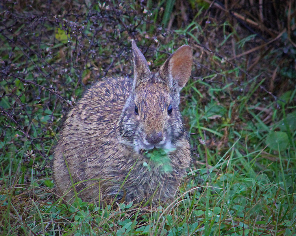 2021.01.03 Sweetwater Wetlands Marsh Rabbit 1