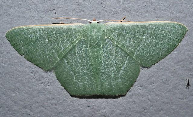 Large emerald moth Thalassodes sp aff pilaria Geometrinae Geometridae Geometroidea Mandalay rainforest Airlie Beach P1290099