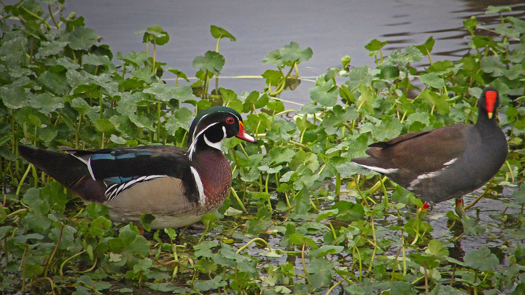 2021.01.03 Sweetwater Wetlands Wood Duck and Common Gallinule 1