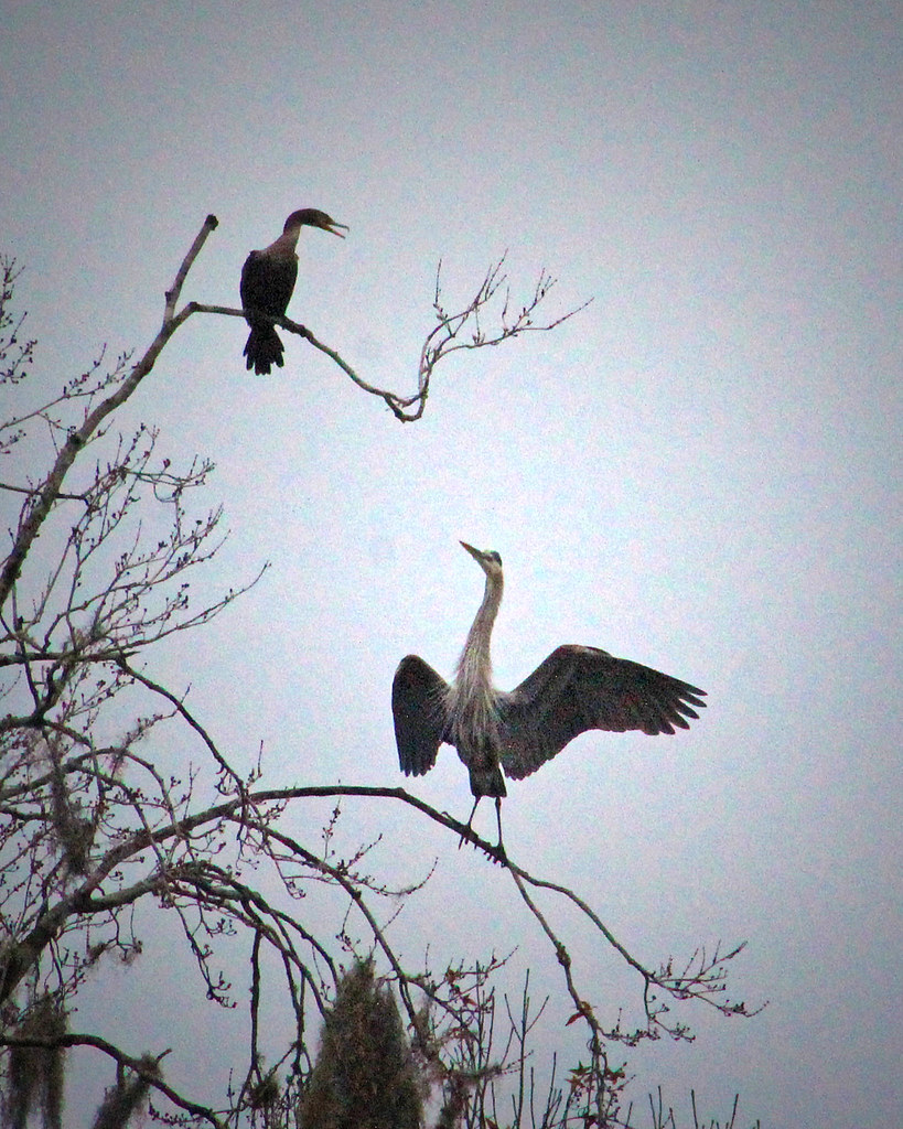 2021.01.03 Sweetwater Wetlands Great Blue Heron and Cormorant 1