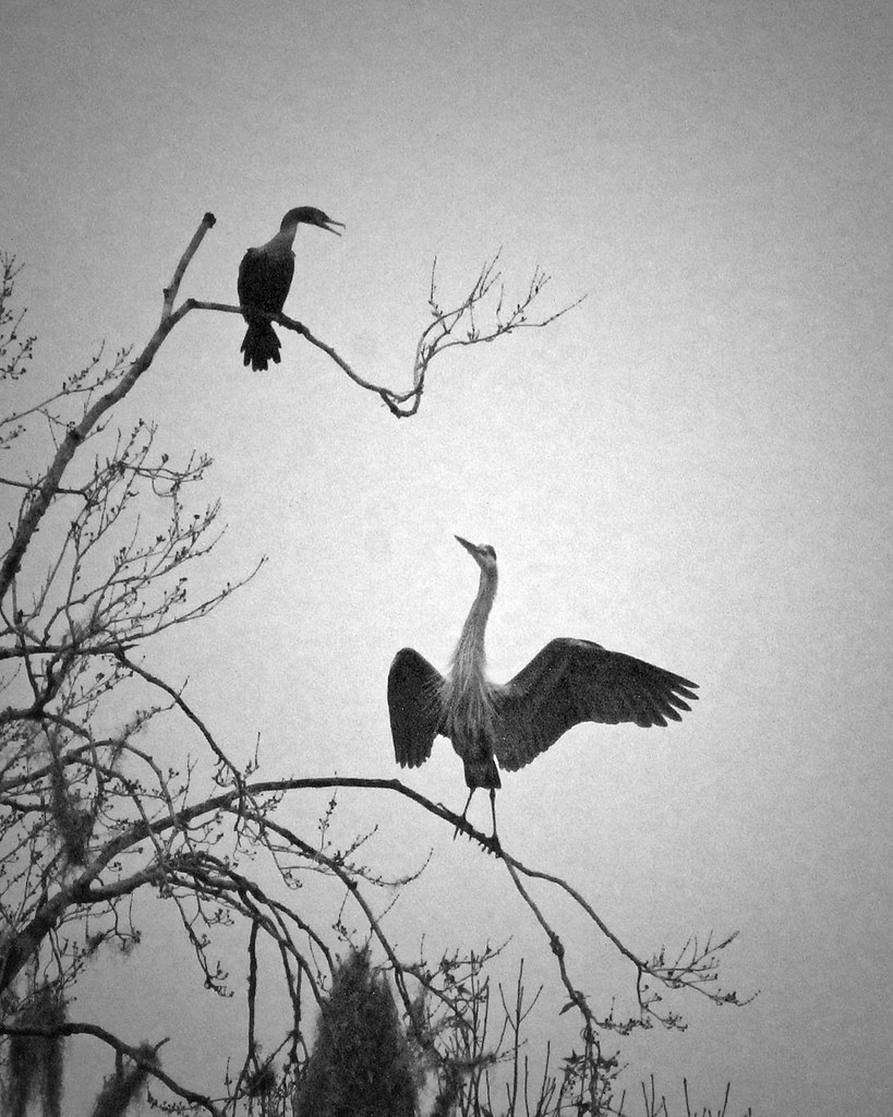 2021.01.03 Sweetwater Wetlands Great Blue Heron and Cormorant 1 BW