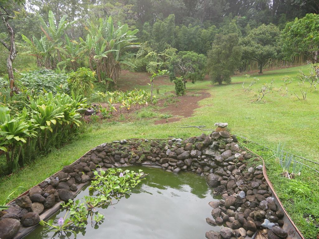 starr-200923-8132-Eichhornia_crassipes-water_garden-Waipalani_Rd_Haiku-Maui