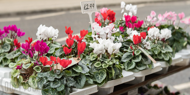 Cyclamens for Sale