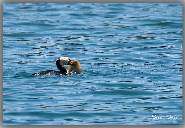 Australian pied cormorant and a Flounde