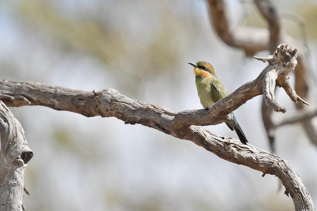 Rainbow Bee-eater  Juv.
