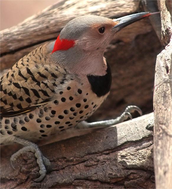 Female Common Flicker