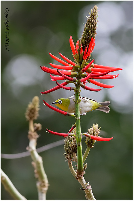 Japanese White-eye (Zosterops japonicus)  暗綠繡眼鳥 - 190121_MG_0879x