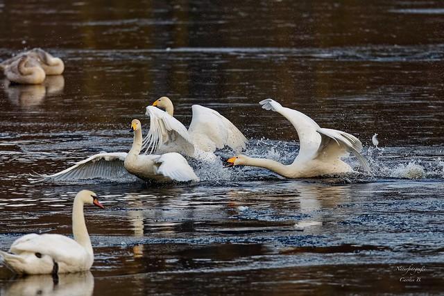 Singschwan-Whooper swan (Cygnus cygnus)