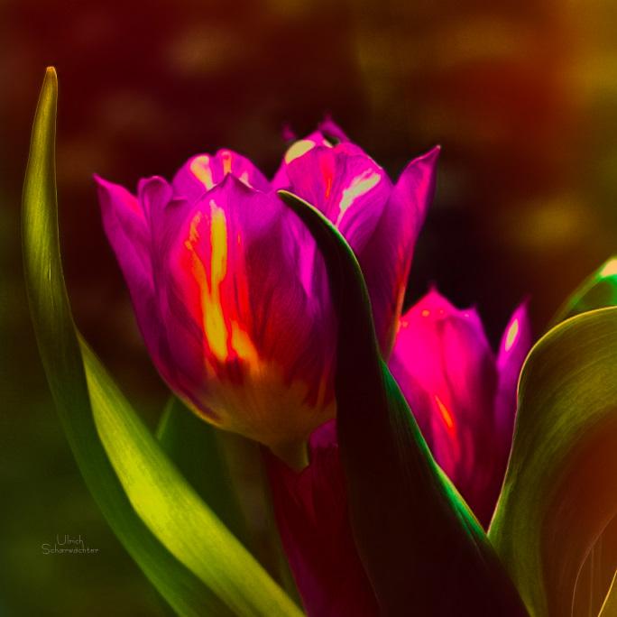 E273 Tulpen, Blumen, Flower