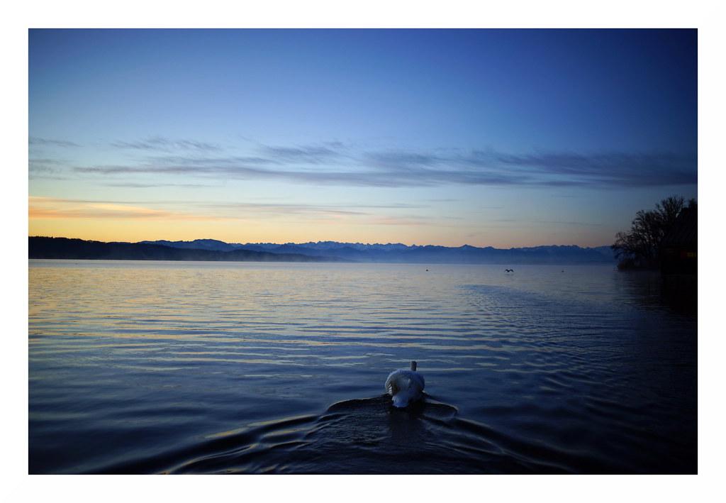 Schwan und See im ersten Licht